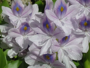 Invasive Water Hyacinth (<em>Eichhornia crassipes</em>)